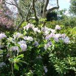 Rhododendron in the garden