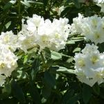 A close view of Rhododendren flowers