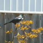 The tui a national icon visitng our flax plant