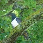 The kereru native wood pigeon- visiting the garden
