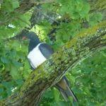 The kereru native wood pigeon- visiting the garden