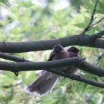 Baby fantails in the garden