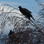 A pair of kereru