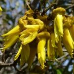 The native kowhai in our garden