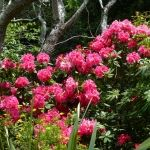 Rhododendrons' make a spectacular splash int he garden