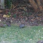 Californian Quail have made our garden their home
