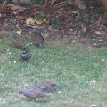 More quail